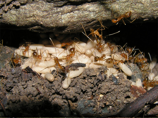 Community volunteers eradicating yellow crazy ants