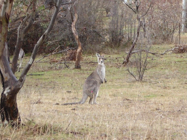 Cont-roo-ception! Dart-administered immunocontraceptive trialled in kangaroos
