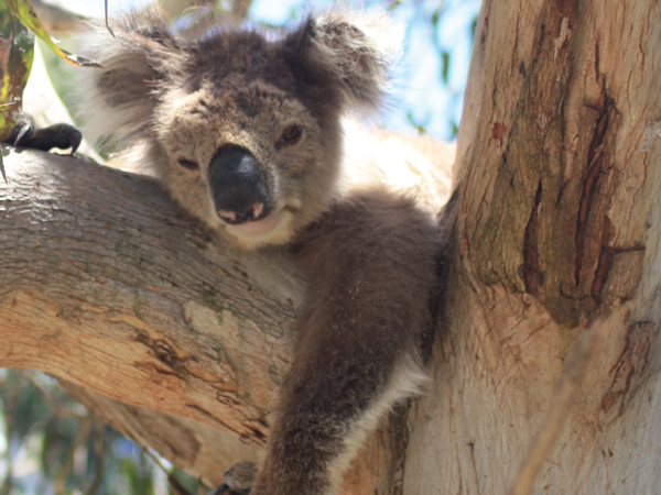 Save a koala without stepping away from your desk!