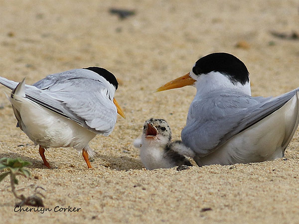 Threatened fairy terns given a helping hand thanks to new sanctuary