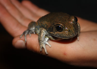 Frogwatch keeps check on climate change in the ACT