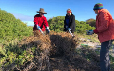 Adelaide seniors and unemployed volunteers tackling toxic weeds at Taperoo beach