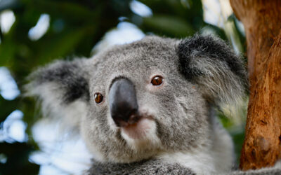 Tree change for koalas project receives funding