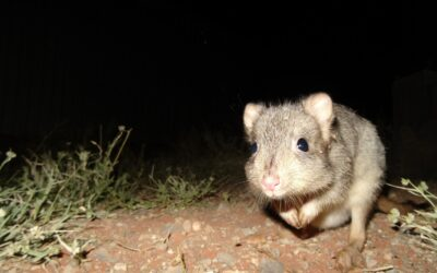 Roxby Downs conservationists working with threatened marsupials impacted by drought score funding from WIRES and Landcare Australia