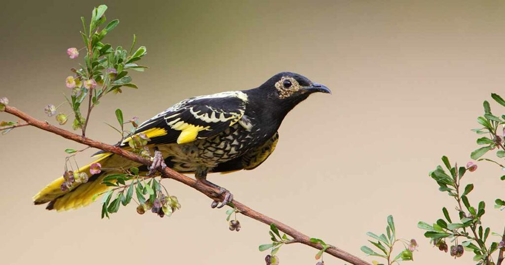 Regent honeyeater perched on a branch